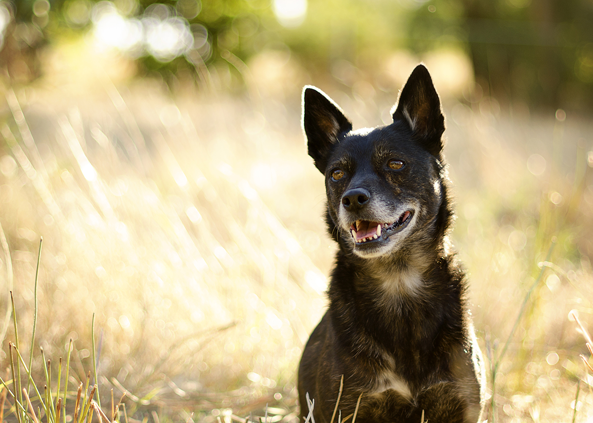 Kelpie-Staffy-Cross-Dog-Photographer-Australia