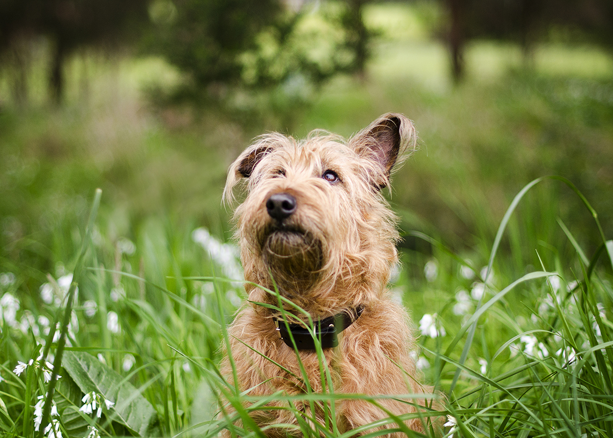 Irish Terrier Dog Photos Melbourne