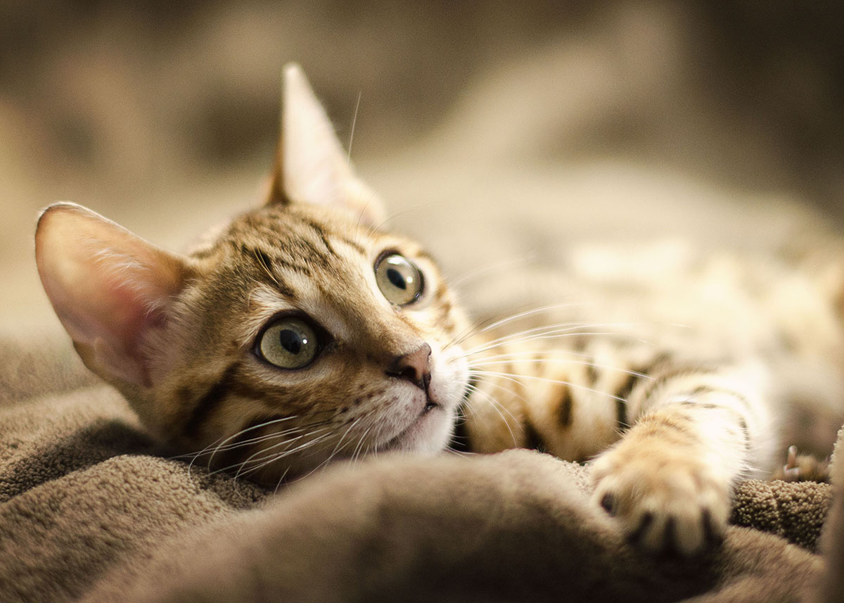 Melbourne Bengal Cat Photographer
