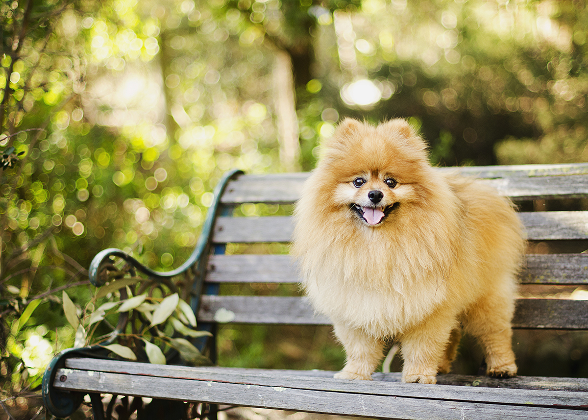Pomeranian Melbourne Dog Photographer Templestowe