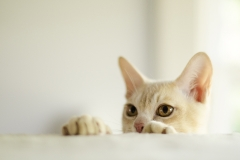 Burmese Cat and Kitten Photographer Melbourne