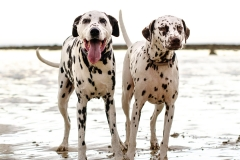 Dalmation dog photography Torquay