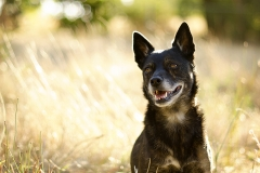 Kelpie Staffy Cross Dog Photographer Australia
