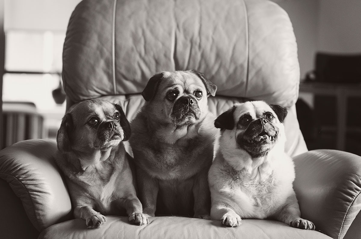 Three-happy-pugs-Melbourne-dog-photography
