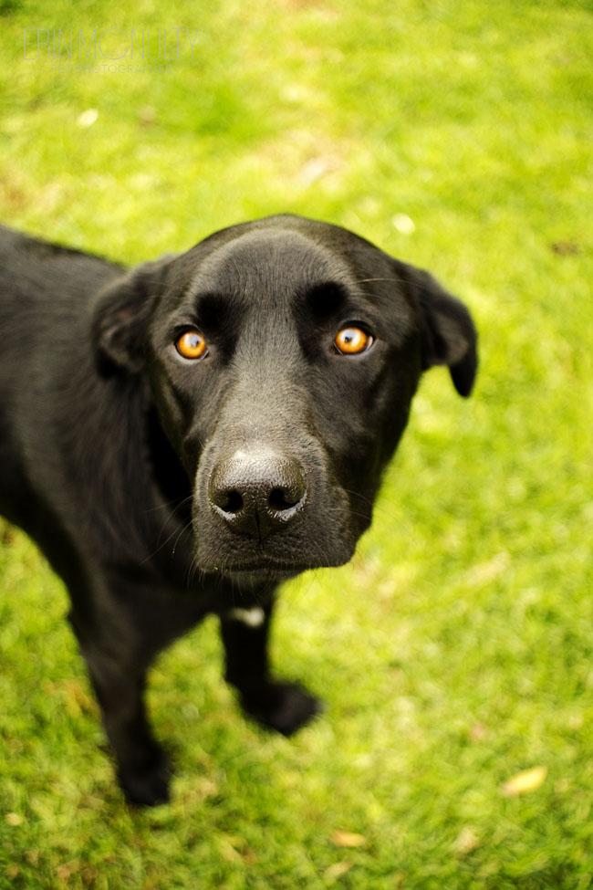 Melbourne Pet Dog Amp Cat Photography Kelpie Lab Cross In