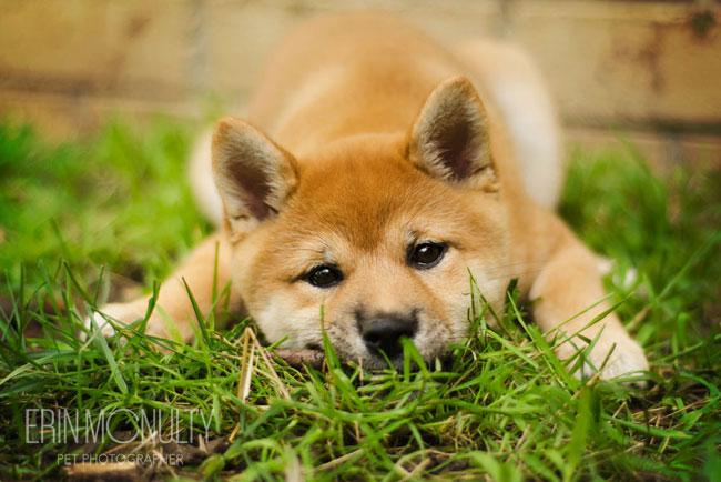 erinmcnulty.comPuppy Melbourne Pet Photography