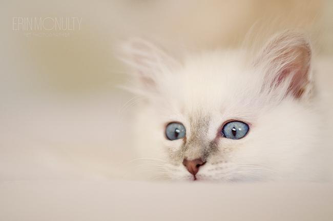 Bengal cat gumtree