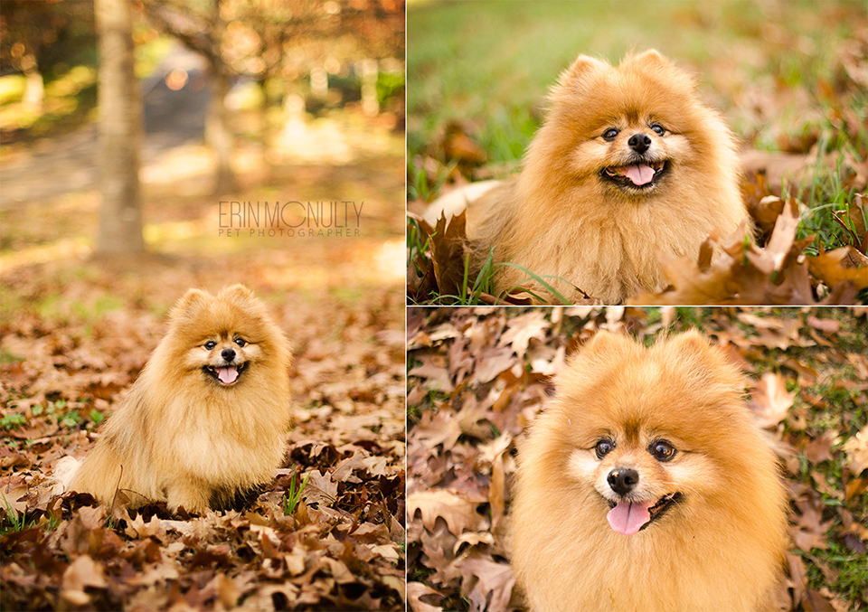Sam-the-pomeranian-melbourne-dog-photographer