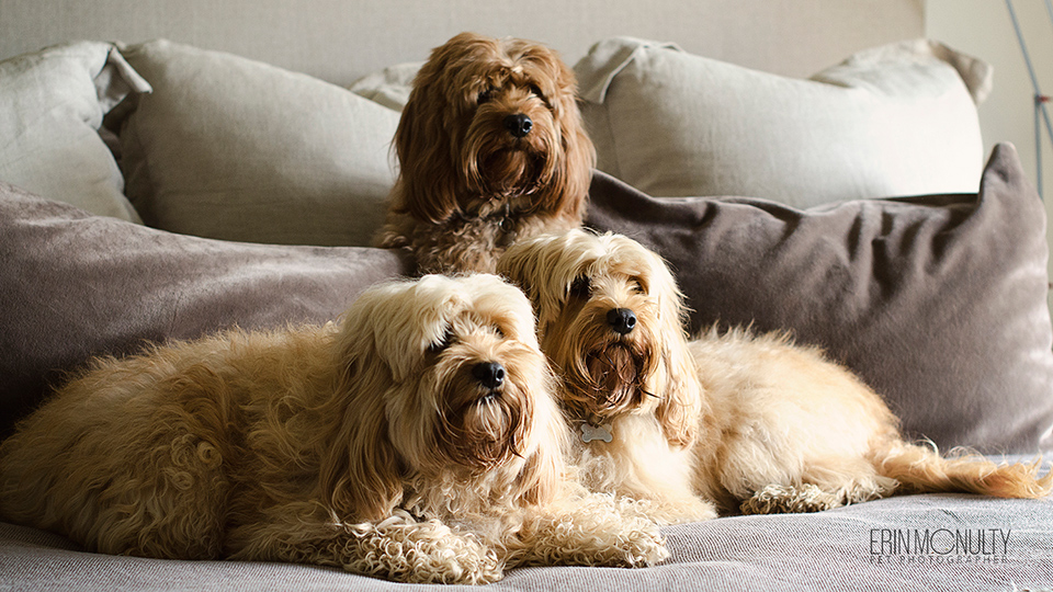 melbourne-cavoodle-dog-photographer